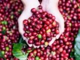 Cà phê Việt Nam đang có lợi thế về giá xuất khẩu