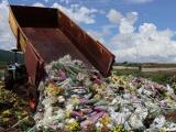 Đà Lạt: Hàng vạn cành hoa bị tiêu hủy vì vướng quy định mới
