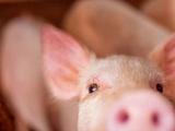 Giá lợn hơi tăng nhẹ 1.000 - 2.000 đồng/kg ngày 18/9