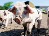 Thị trường lợn hơi hôm nay 21/9 biến động nhẹ một giá