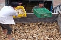 Cao Bằng: Tiêu hủy 12.000 con giống gia cầm không rõ nguồn gốc