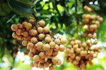 Việt Nam xuất khẩu hơn 16 tấn nhãn tươi sang thị trường Australia