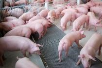 Giá lợn hơi ngày 23/9: Có nơi giảm sâu đến 3.000 đồng/kg