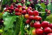 Diễn biến giá cà phê và hồ tiêu đầu tuần (ngày 26/10)
