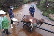 Làm rõ nguyên nhân trâu bò chết rét nhiều tại Thừa Thiên-Huế