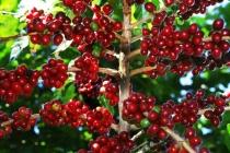Giá cà phê và hồ tiêu đảo chiều trong ngày 16/1