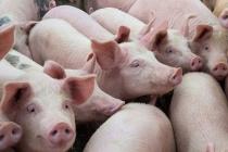 Giá lợn hơi hôm nay 17/1 cao nhất 86.000 đồng/kg