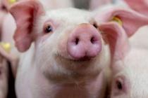 Giá lợn hơi hôm nay 20/10 tiếp tục giảm