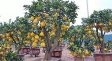 Sôi động thị trường hoa cây cảnh dịp tết Tân Sửu 2021