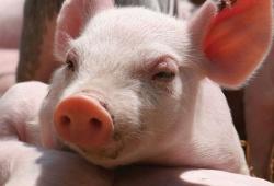 Cập nhật diễn biến giá lợn hơi ngày 17/4 trên cả 3 miền
