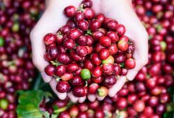 Thị trường cà phê và hồ tiêu hôm nay 23/9 diễn biến trái chiều