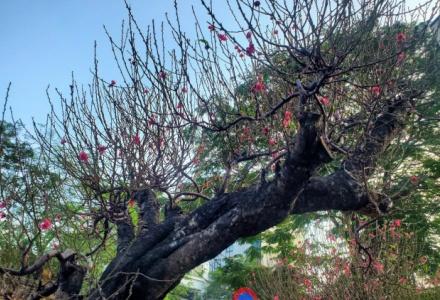 Sơn La: Kiến nghị Thủ tướng cho phép truy xuất nguồn gốc cây đào